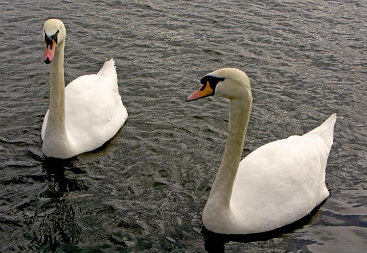 "фото ""The Swans"" метки: природа, домашние животные"