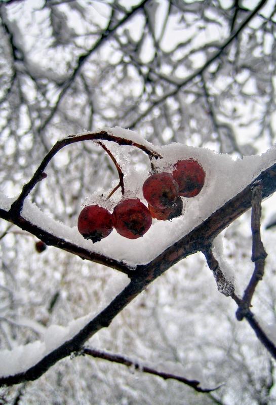 """фото """"Красное и белое-2"""" метки: пейзаж, природа, зима, цветы"""