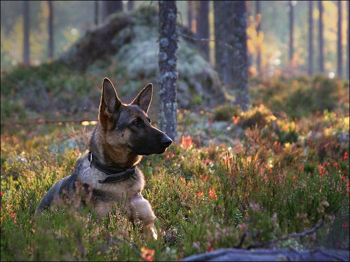 "photo ""German shepherd"" tags: ,"