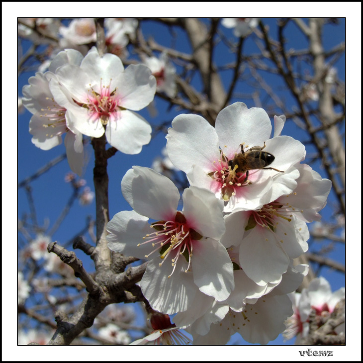 "photo ""Almond tree"" tags: nature, flowers"