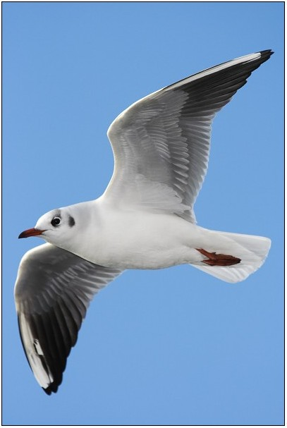 "photo ""Black-heade Gull"" tags: nature, wild animals"