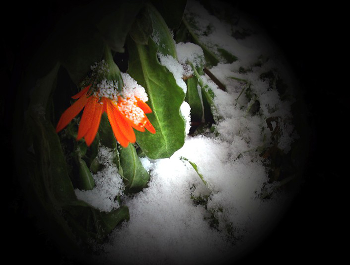 "photo ""The Flower in the Snow"" tags: nature, abstract, flowers"