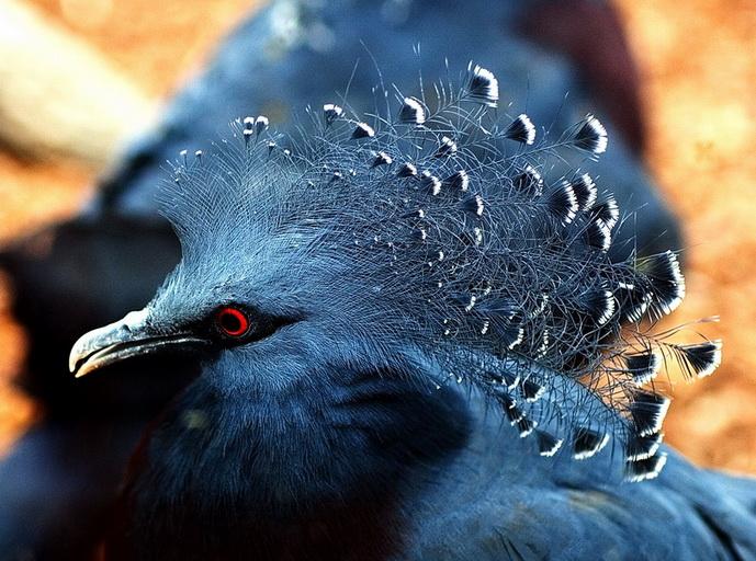 """фото """"Megapella coronata No.2"""" метки: природа, дикие животные"""