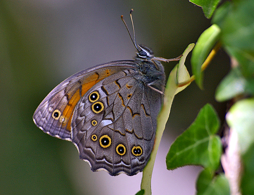 "photo ""Butterfly"" tags: nature, insect"