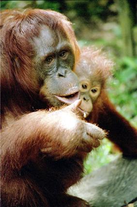 "фото ""Orangatan"" метки: природа, дикие животные"