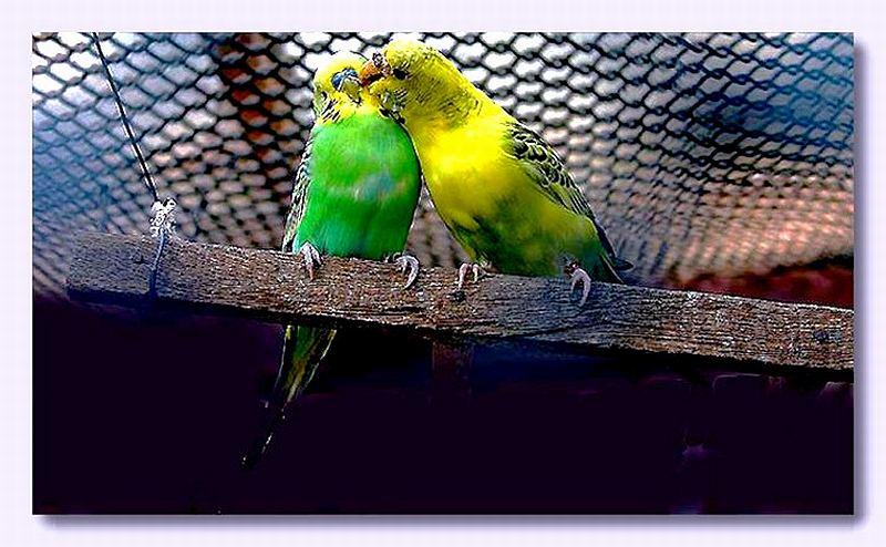 """фото """"couple of birds"""" метки: природа, портрет, домашние животные"""