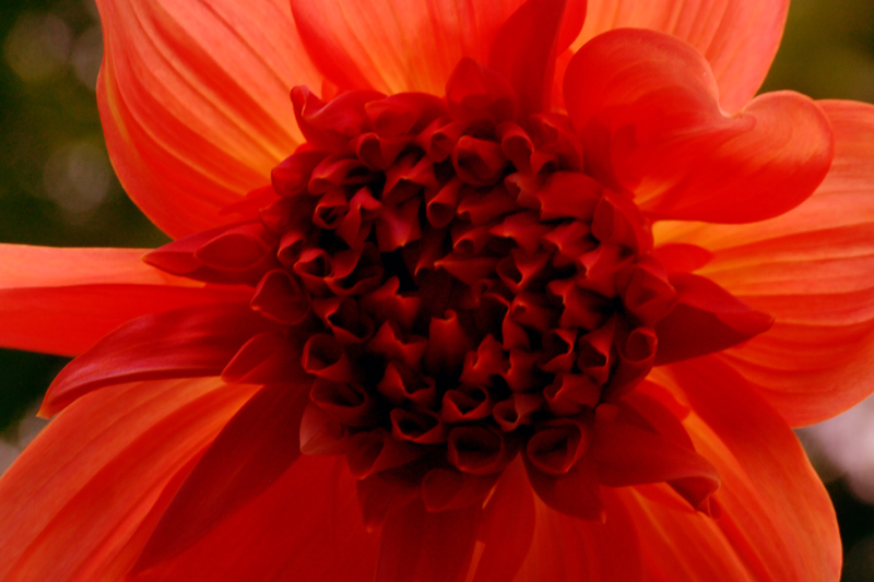 "photo ""fireflower II"" tags: nature, macro and close-up, flowers"