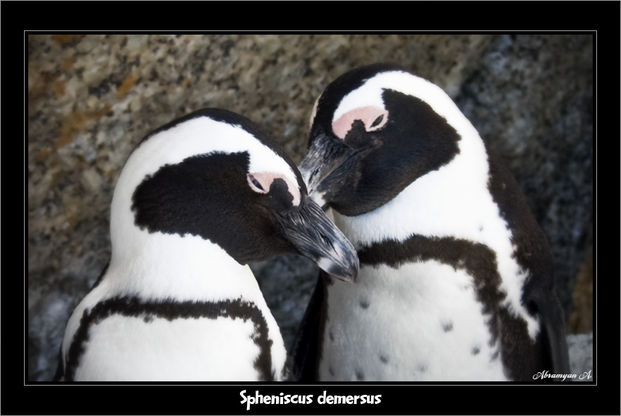 """photo """"Spheniscus demersus"""" tags: nature, travel, Africa, wild animals"""