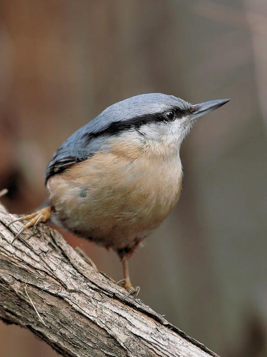 """photo """"Sitta europaea (2)"""" tags: nature, wild animals"""