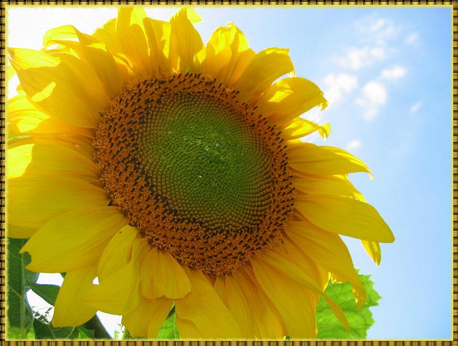 """фото """"К солнцу!"""" метки: природа, цветы"""