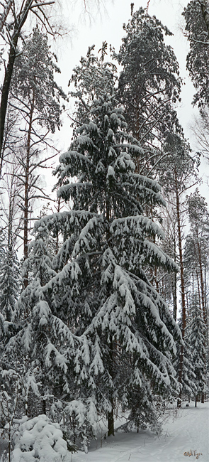 "photo ""Spruce fir."" tags: landscape, forest, winter"