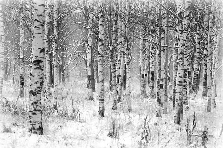 "photo ""Winter. Birches"" tags: landscape, forest, winter"