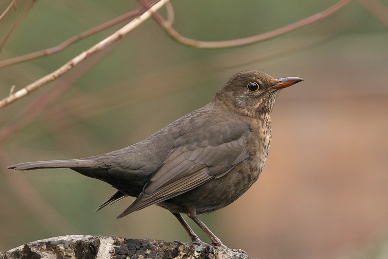 "photo ""Turdus merula"" tags: nature, wild animals"