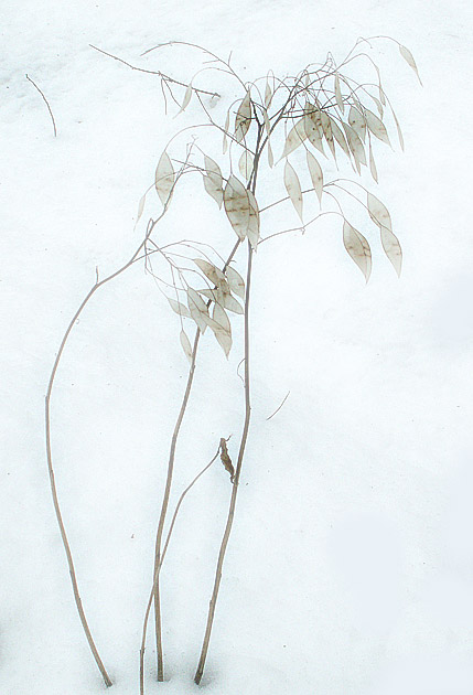 "photo ""Lunaria rediviva"" tags: nature, landscape, flowers, winter"