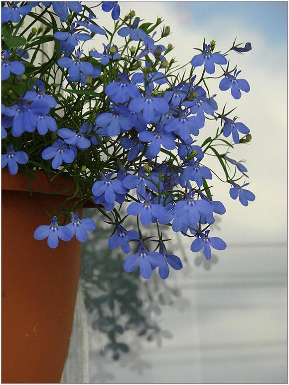 "photo ""Lobelia cascade"" tags: nature, flowers"