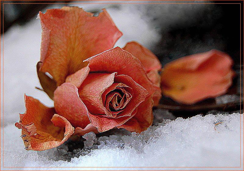 Оформить, гифка розы в снегу