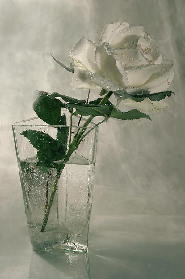 "photo ""роза"" tags: still life,"
