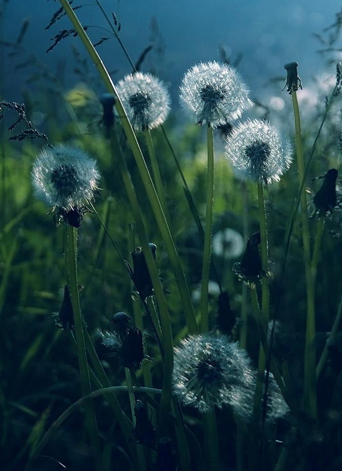 """фото """"лефортовские одуванчики"""" метки: природа, пейзаж, лето, цветы"""
