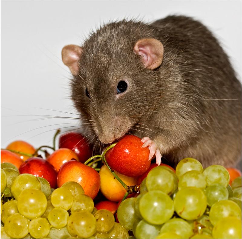 картинки вредная еда с крысами и мышами вещи ступеньками