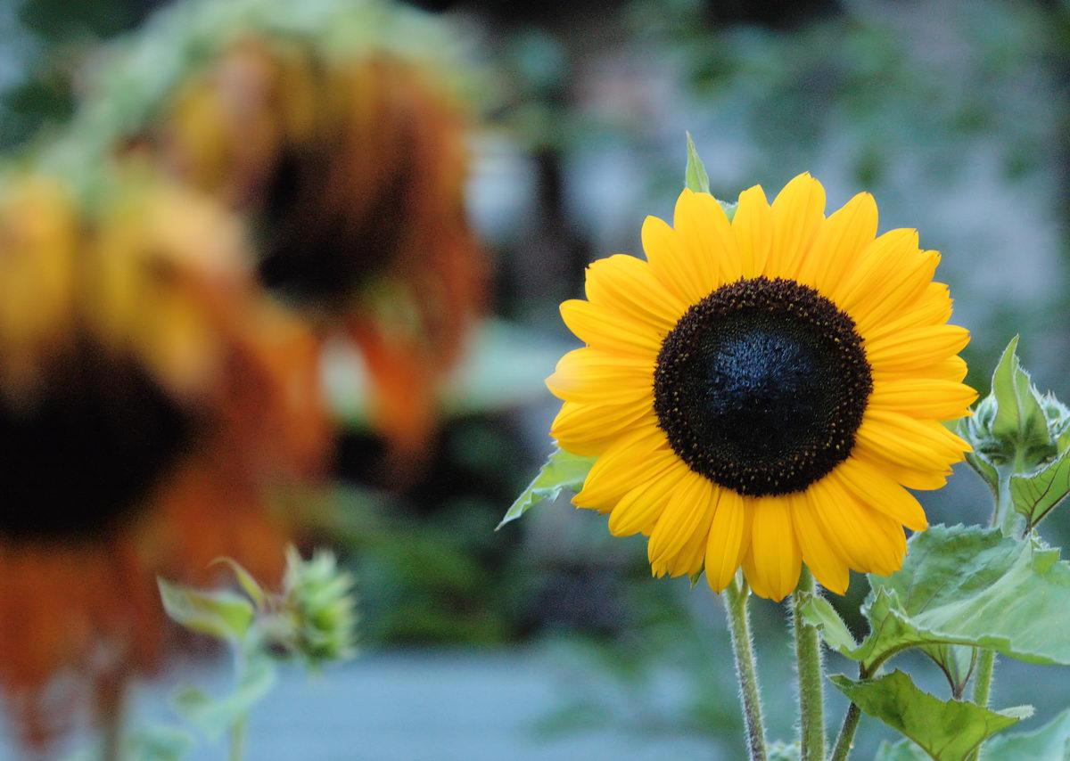 """фото """"Серия подсолнухи. фото 2"""" метки: природа, цветы"""