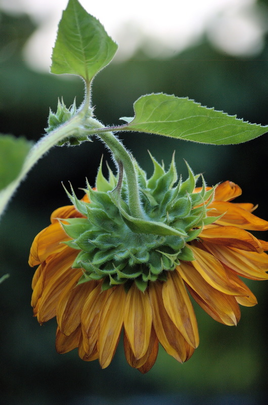 """фото """"Серия подсолнухи. Фото 3"""" метки: природа, цветы"""