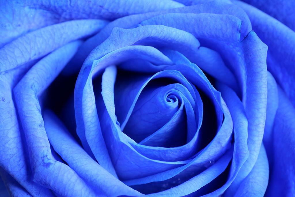 """photo """"Blue Rose"""" tags: nature, macro and close-up, flowers"""