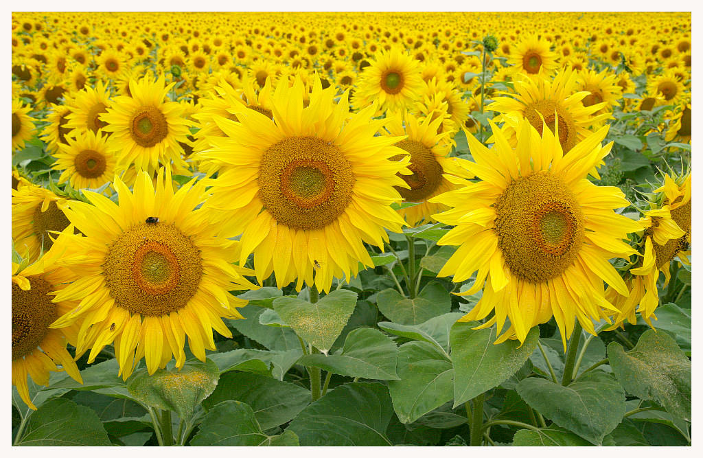 """photo """"sunflowers"""" tags: nature, flowers"""