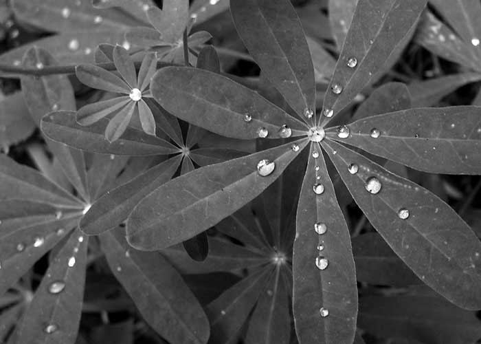 "photo ""Diamonds or Dew?"" tags: nature, black&white, flowers"