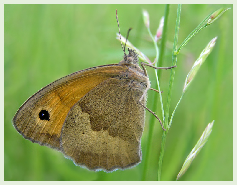 """photo """"Meadow Brown"""" tags: nature, macro and close-up, insect"""