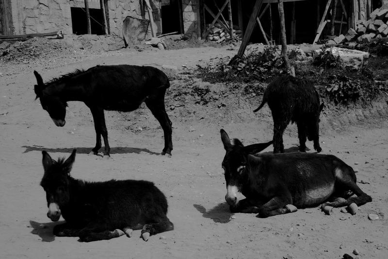 "photo ""donkeys on rest"" tags: portrait, black&white,"