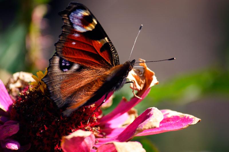 """фото """"Бабочка павлиний глаз"""" метки: макро и крупный план, природа, насекомое"""