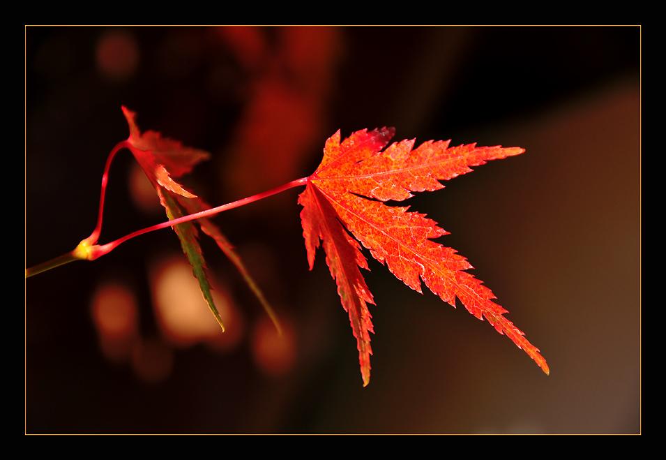 """фото """"Acer Palmatum"""" метки: природа, макро и крупный план, цветы"""