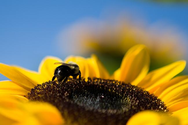 """фото """"bumblebee"""" метки: природа, насекомое"""