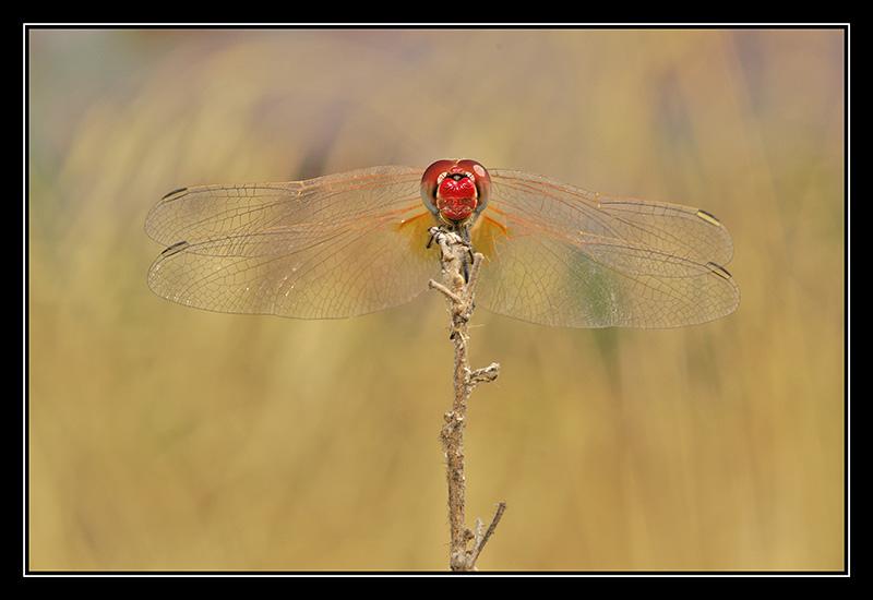 """фото """"Dragon"""" метки: природа, макро и крупный план, насекомое"""