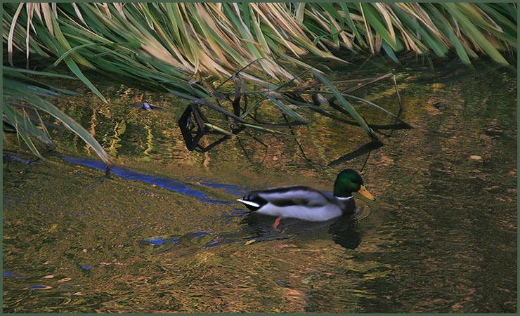 """фото """"Осенняя уточка"""" метки: пейзаж, природа, вода, дикие животные"""