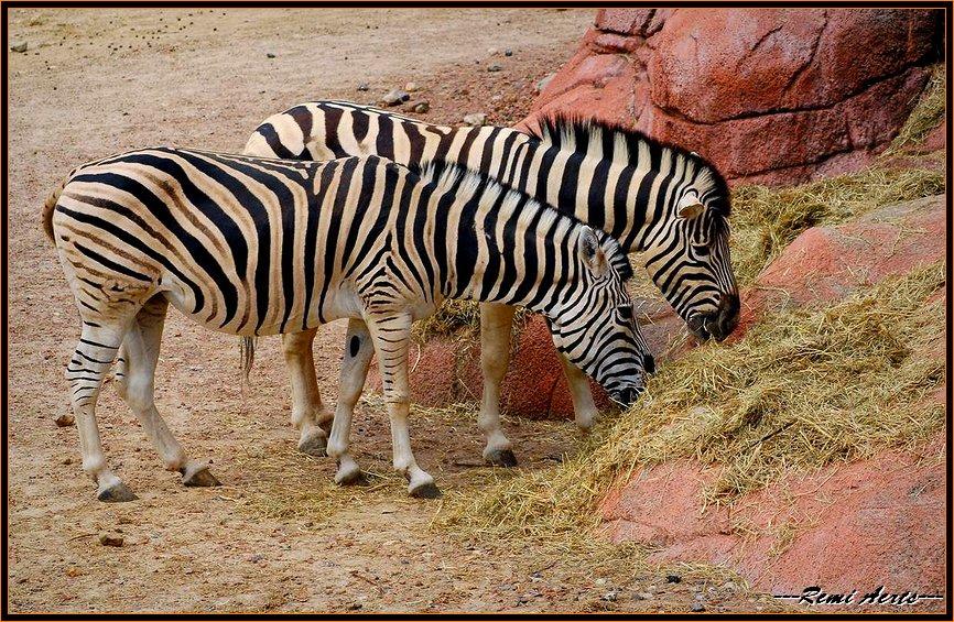 """фото """"dinner for zebra"""" метки: природа, пейзаж, дикие животные"""
