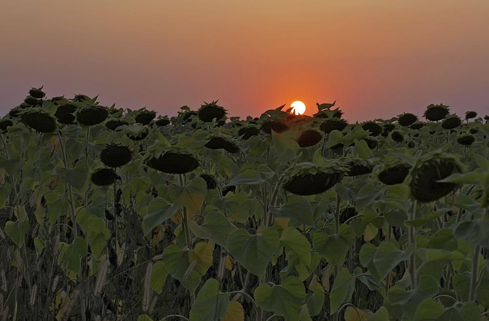 """фото """"Солнце и подсолнухи"""" метки: пейзаж, закат, лето"""