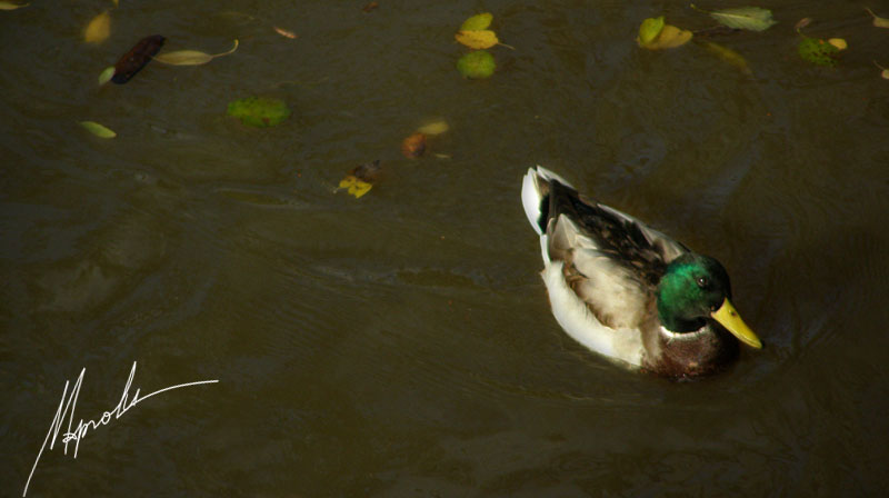 """фото """"Любопытно, живут ли на солнце утки?.."""" метки: природа, дикие животные"""