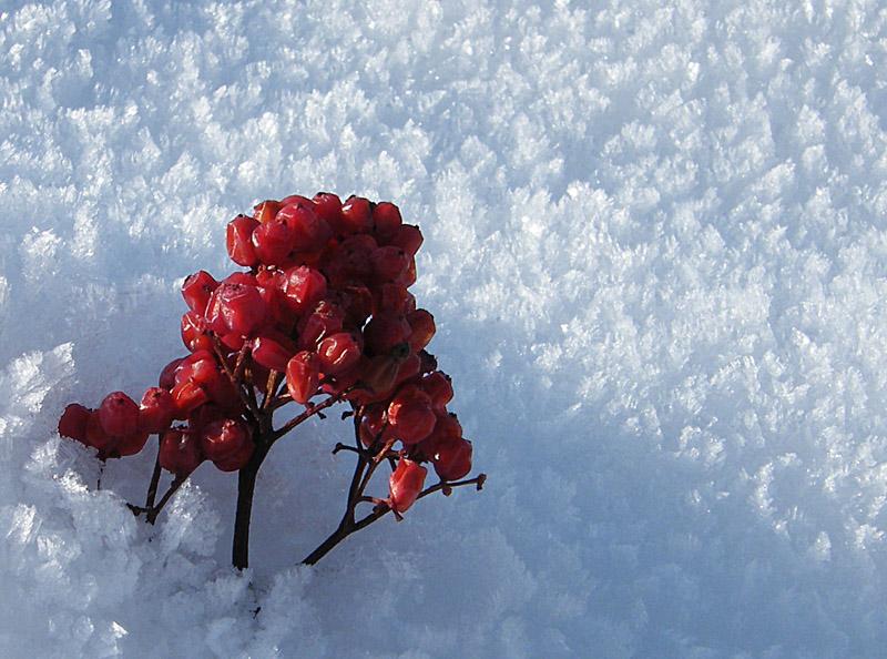 """фото """"ягодны и мороз"""" метки: макро и крупный план, природа, цветы"""