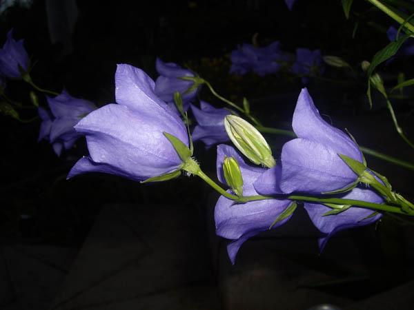 Фото Фиолетовые колокольчики в н…
