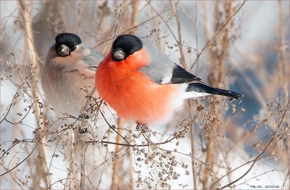 "фото ""Снегири"" метки: природа, пейзаж,"