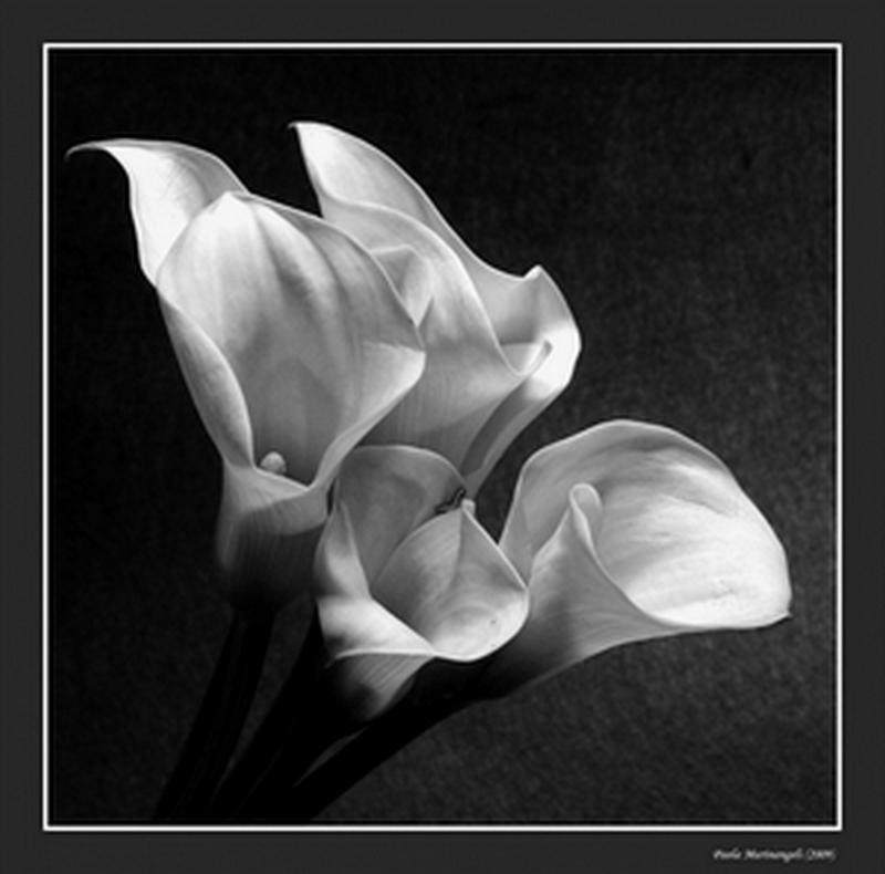 "фото ""Callas in White"" метки: черно-белые, природа, цветы"