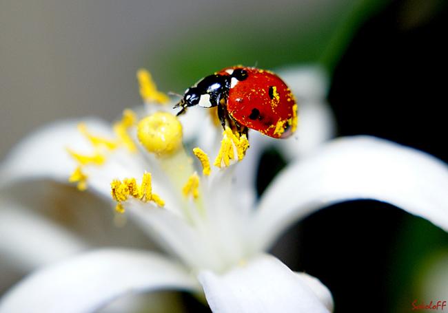"""фото """"Замарашка"""" метки: макро и крупный план, природа, насекомое"""
