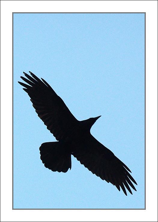 """photo """"Raven"""" tags: nature, wild animals"""