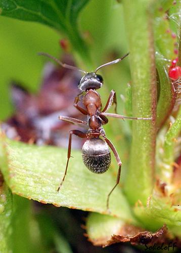 """фото """"Танец с шестом"""" метки: макро и крупный план, природа, насекомое"""
