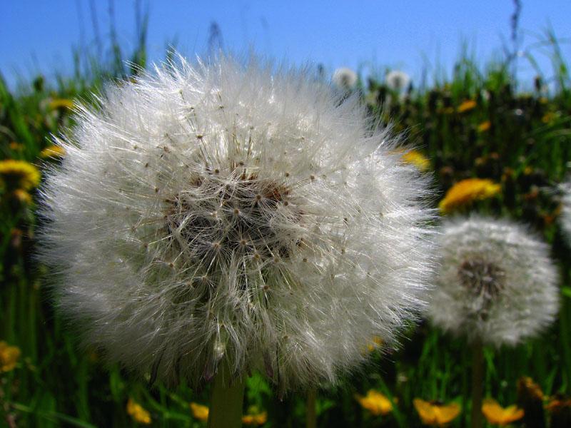Картинка пушистого сухого цветка