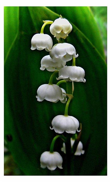 "фото ""Ландышки"" метки: природа, цветы"