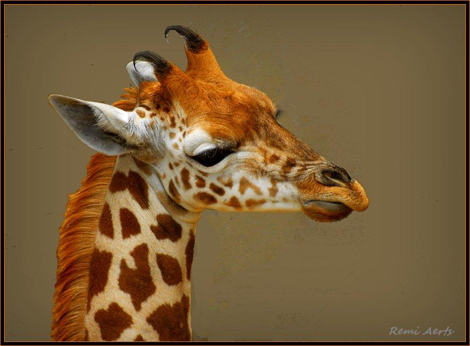 "photo ""young giraffe"" tags: nature, wild animals"