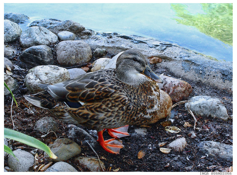 "фото ""Duck"" метки: природа, дикие животные"