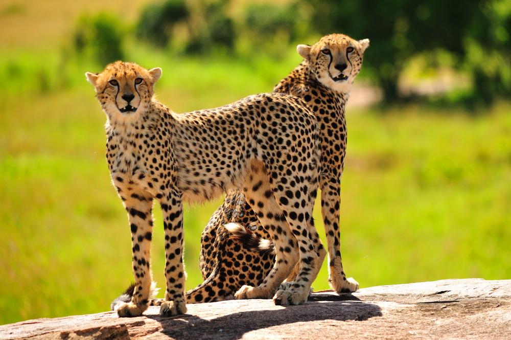 "фото ""Cheetahs"" метки: природа, дикие животные"